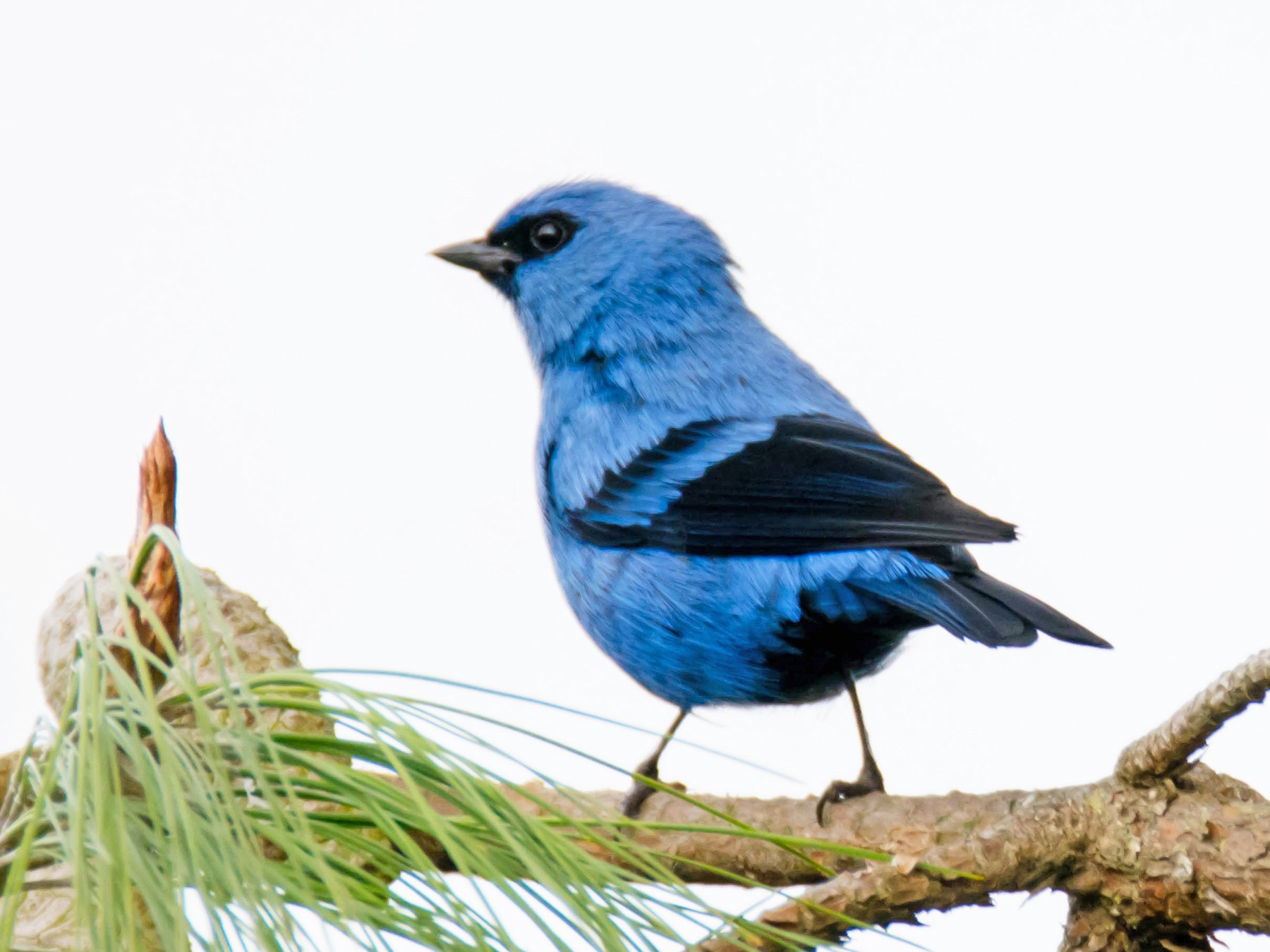 Blue-and-black Tanager - Juan Sebastian Moreno