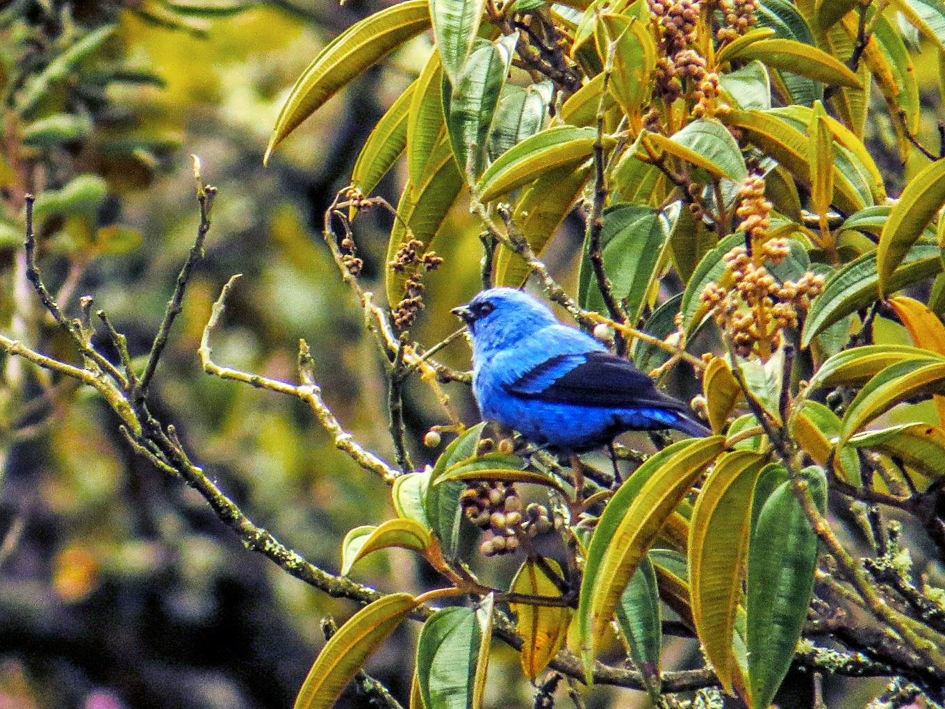 Blue-and-black Tanager - Gustavo Pisso