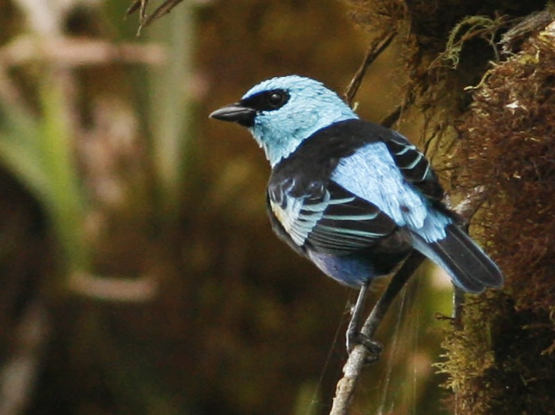 Blue-necked Tanager - Luke Seitz