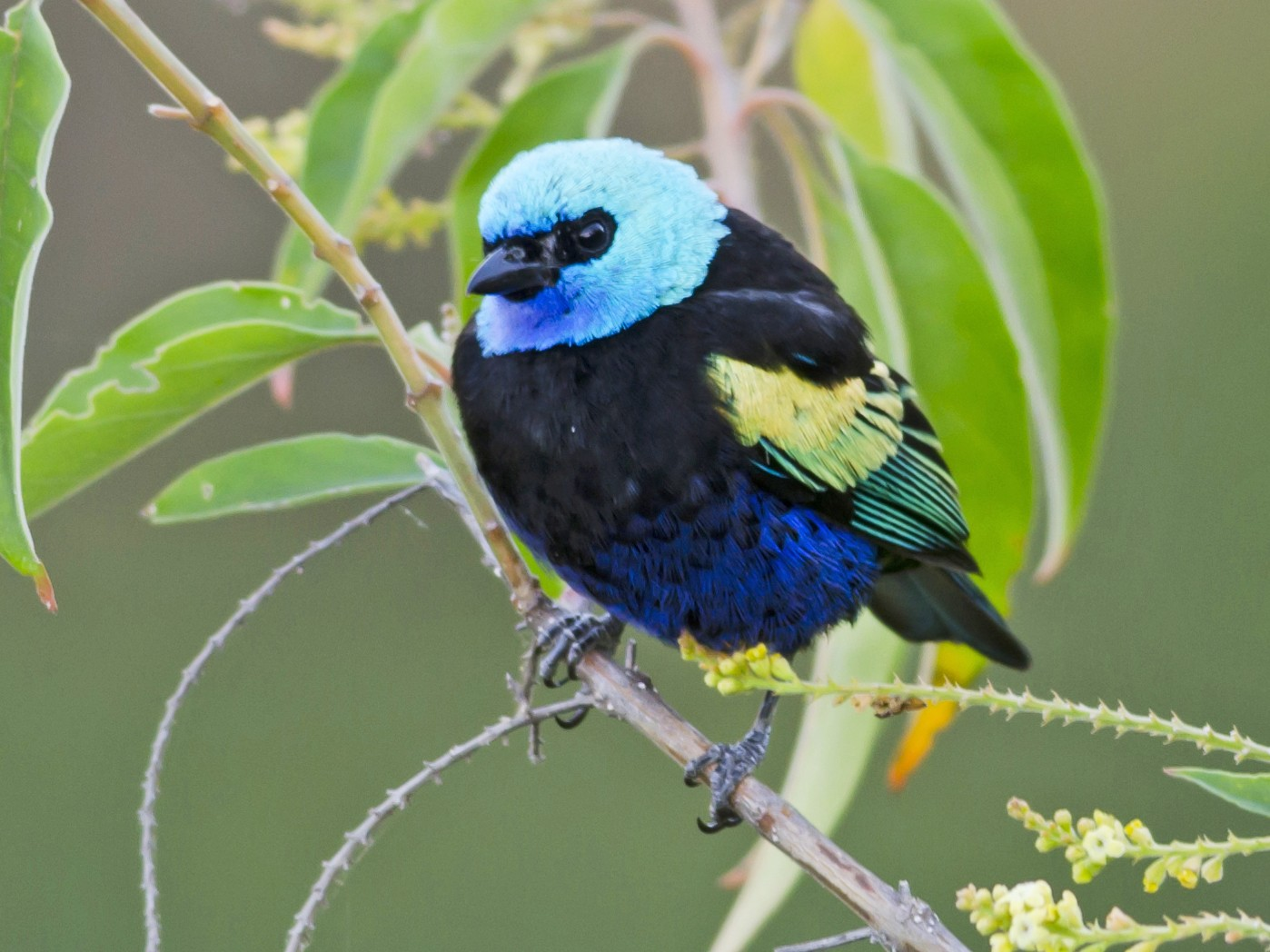 Blue-necked Tanager - Neil Diaz