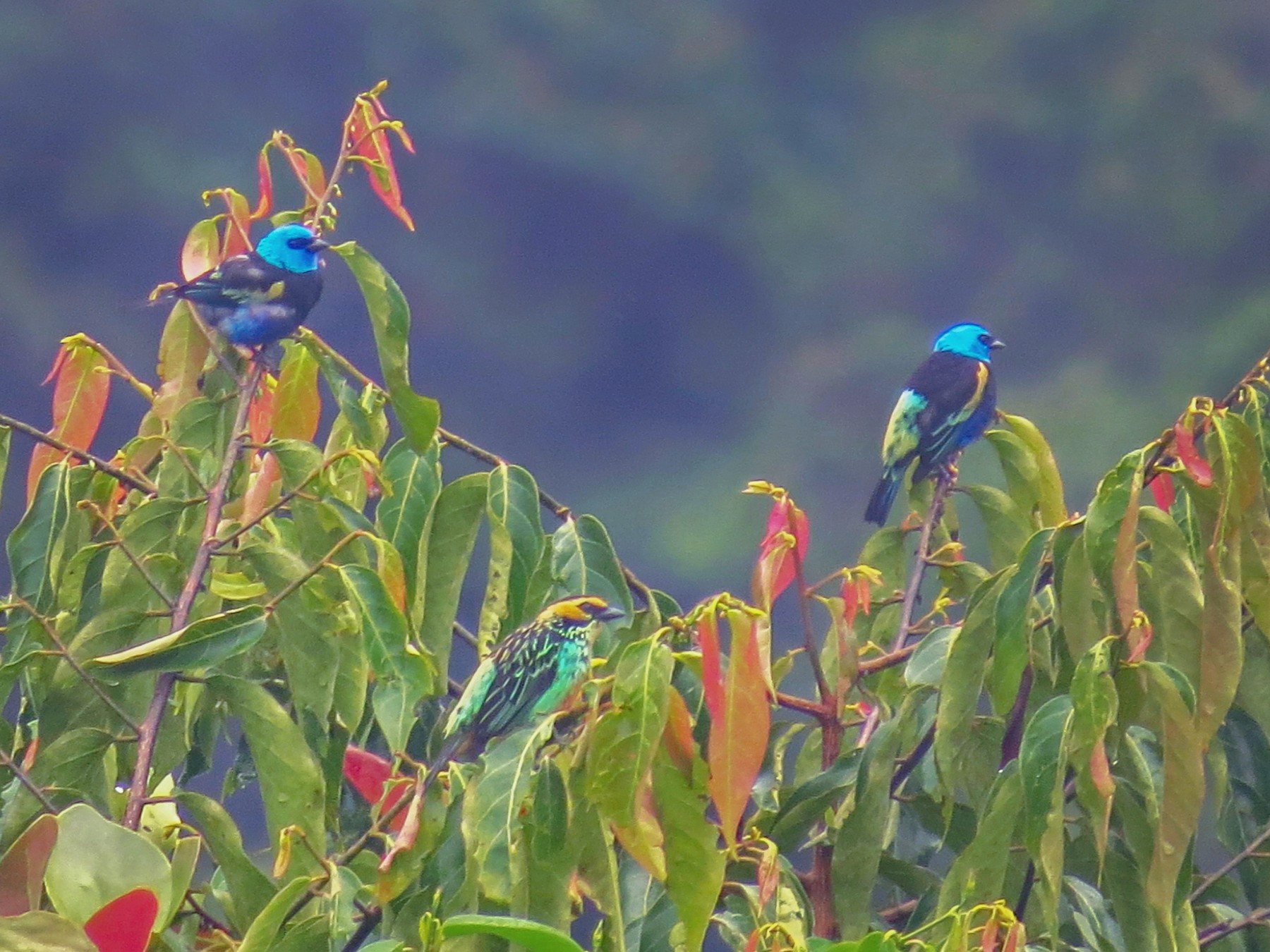 Blue-necked Tanager - Jorge Muñoz García   CAQUETA BIRDING