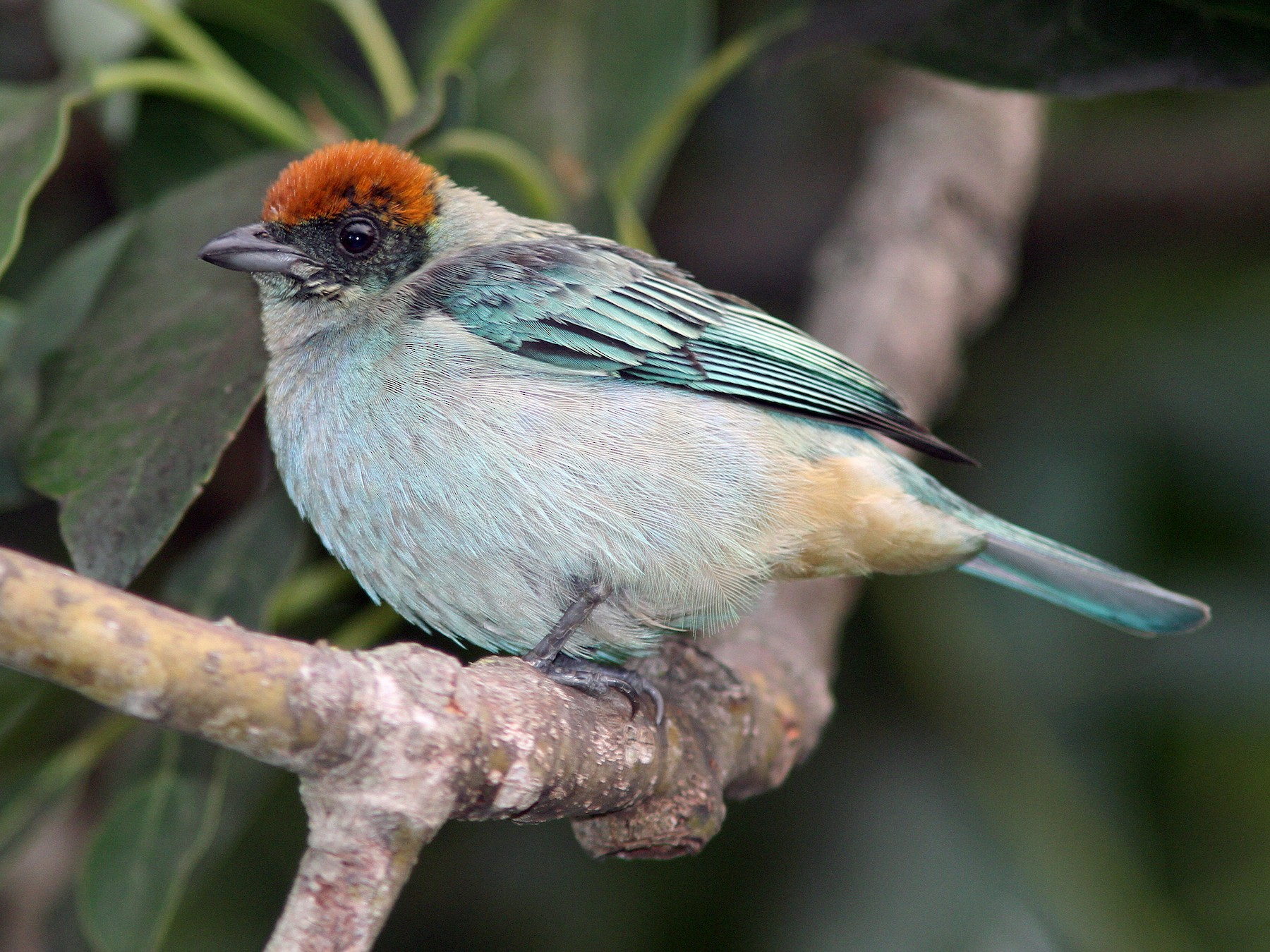 Scrub Tanager - Larry Therrien
