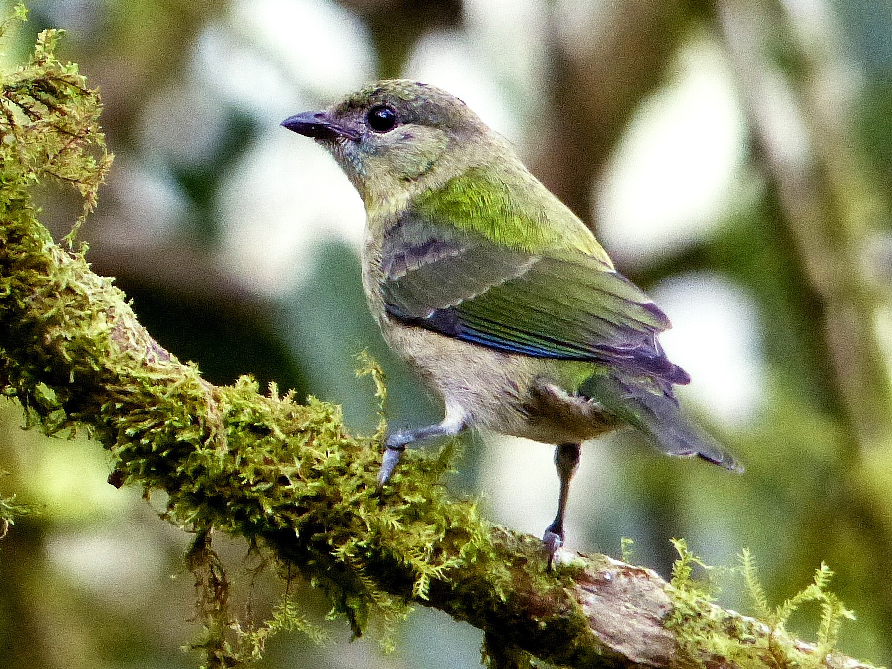 Black-capped Tanager - David Bree