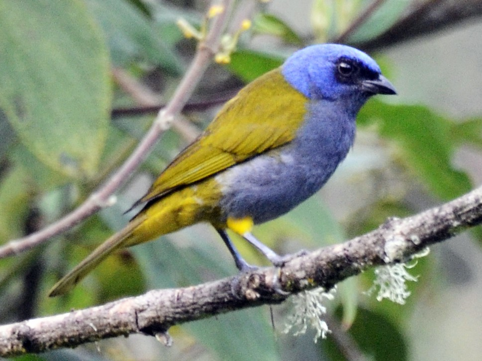 Blue-capped Tanager - David M. Bell