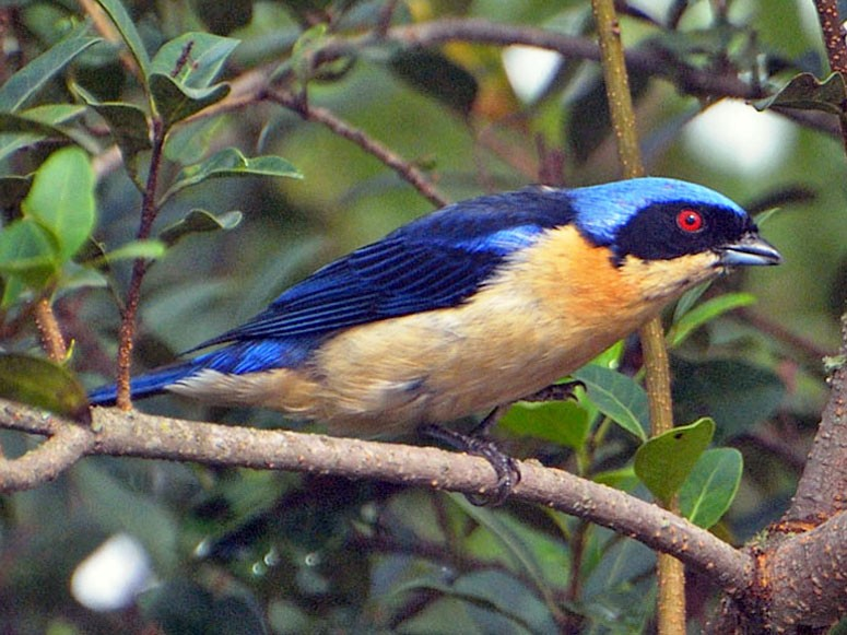 Fawn-breasted Tanager - Luis Fernandez