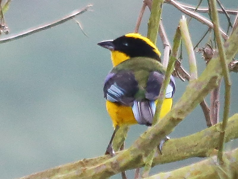 Blue-winged Mountain-Tanager - Chantelle du Plessis (Andes EcoTours)