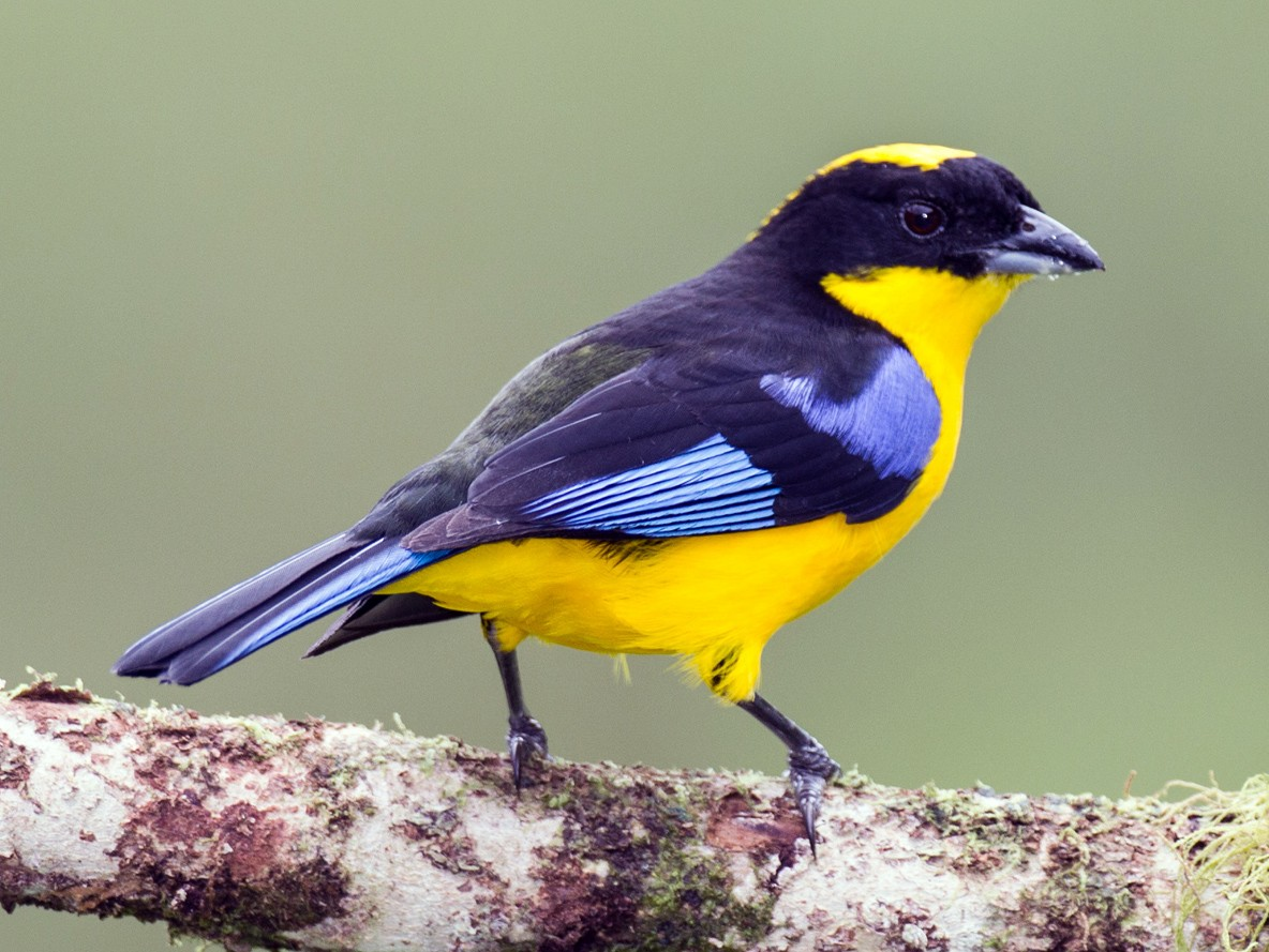 Blue-winged Mountain-Tanager - Robert Lewis