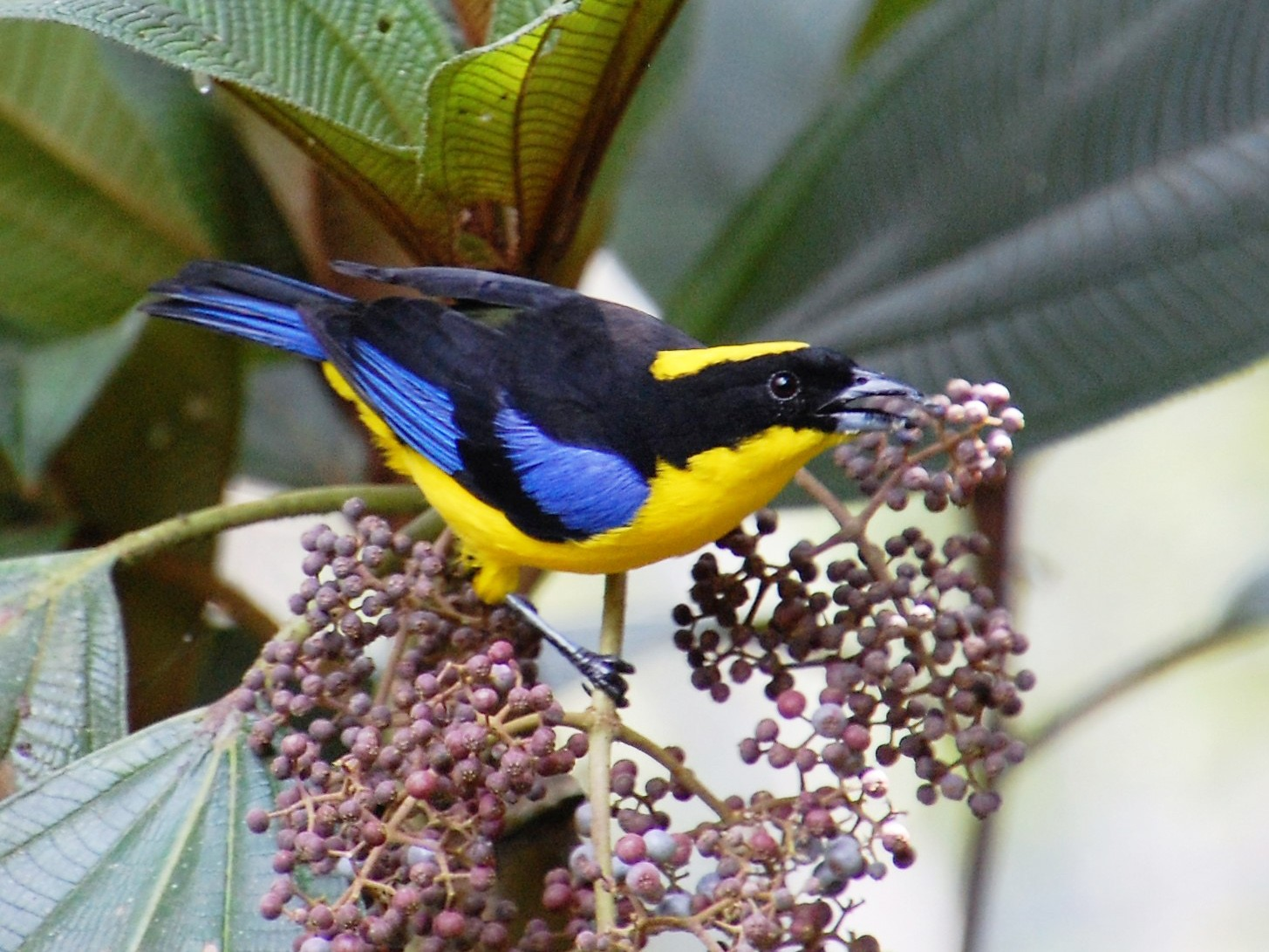 Blue-winged Mountain-Tanager - Timothy White