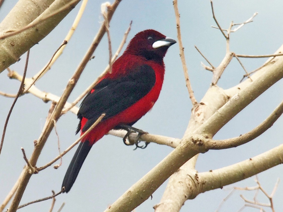 Crimson-backed Tanager - Cory Gregory