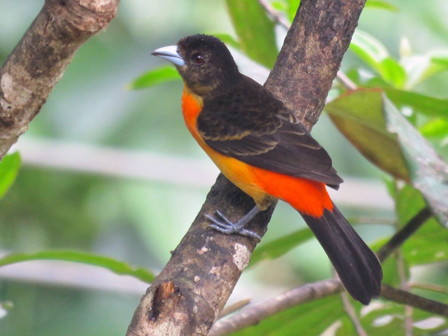 Flame-rumped Tanager - Ayde Solarte