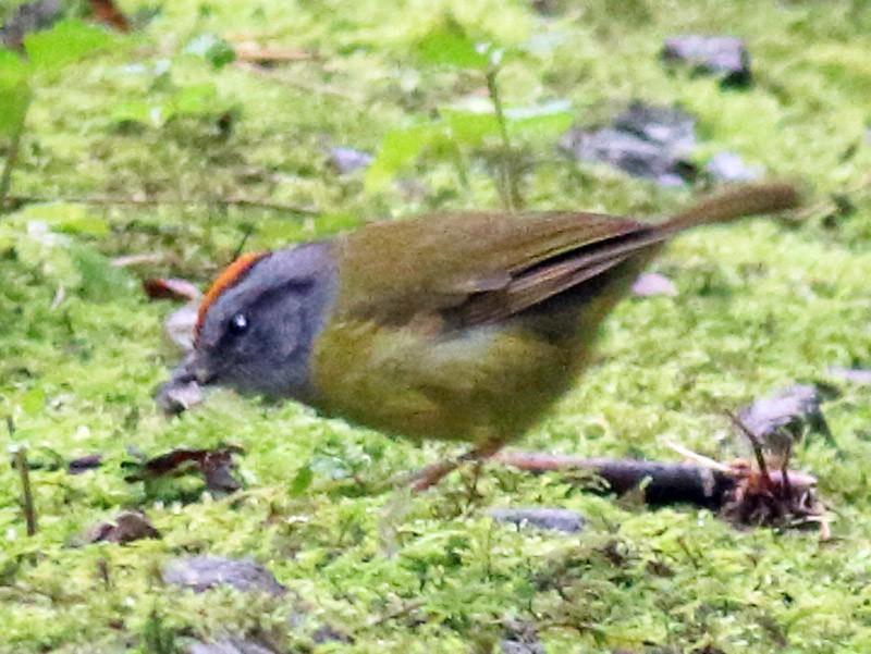 Russet-crowned Warbler - Rick Folkening