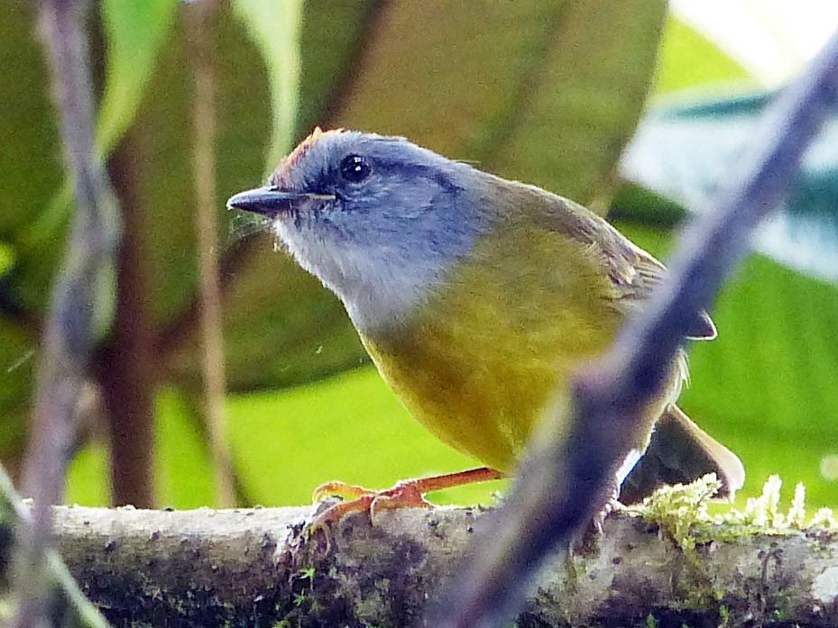 Russet-crowned Warbler - David Bree