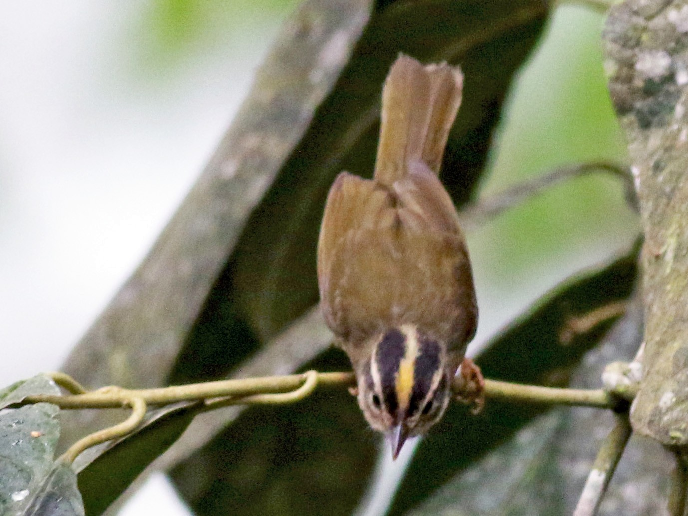 Three-striped Warbler - Jay McGowan