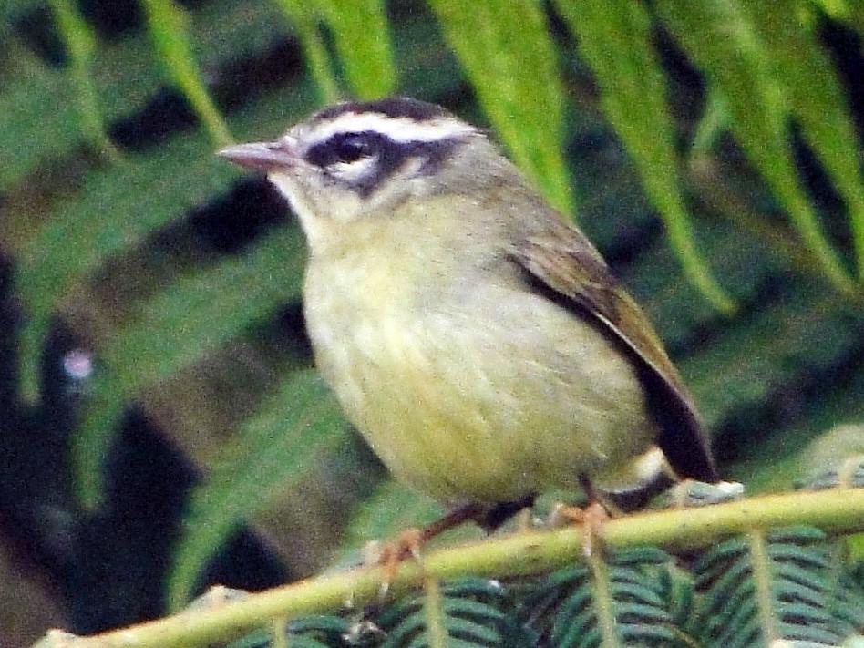 Three-striped Warbler - Carlos Gussoni