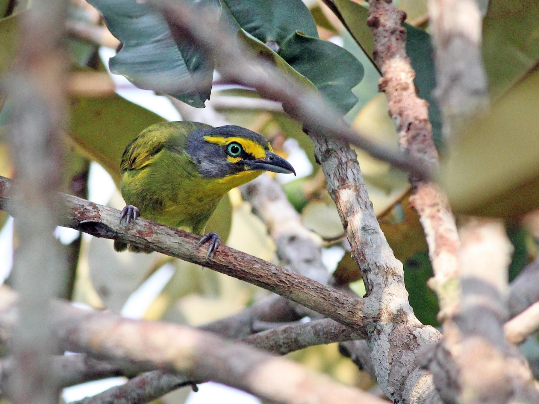 Slaty-capped Shrike-Vireo - Nárgila Moura