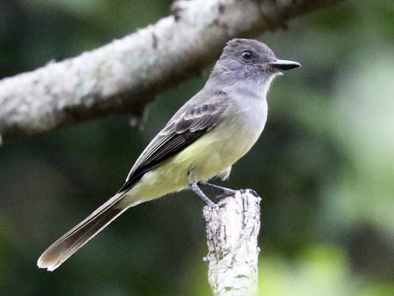 Apical Flycatcher - Knut Hansen