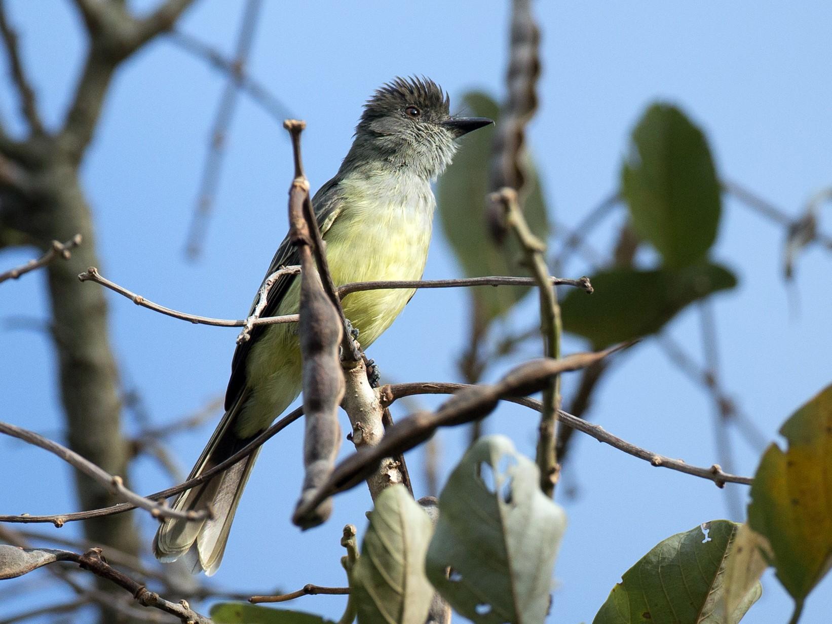 Apical Flycatcher - Chris Wood