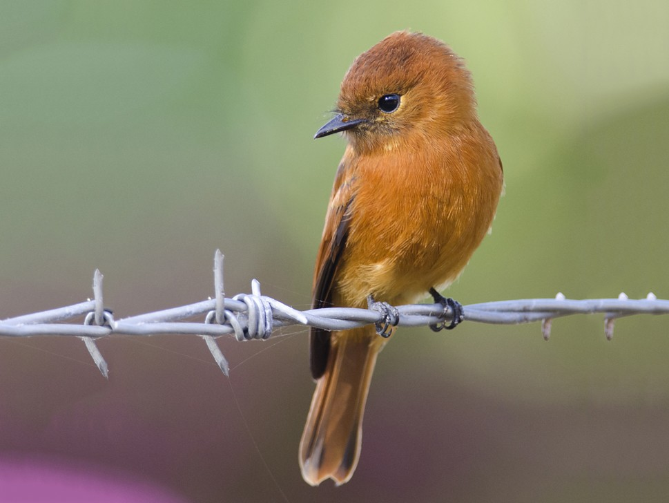 Cinnamon Flycatcher - Anonymous eBirder