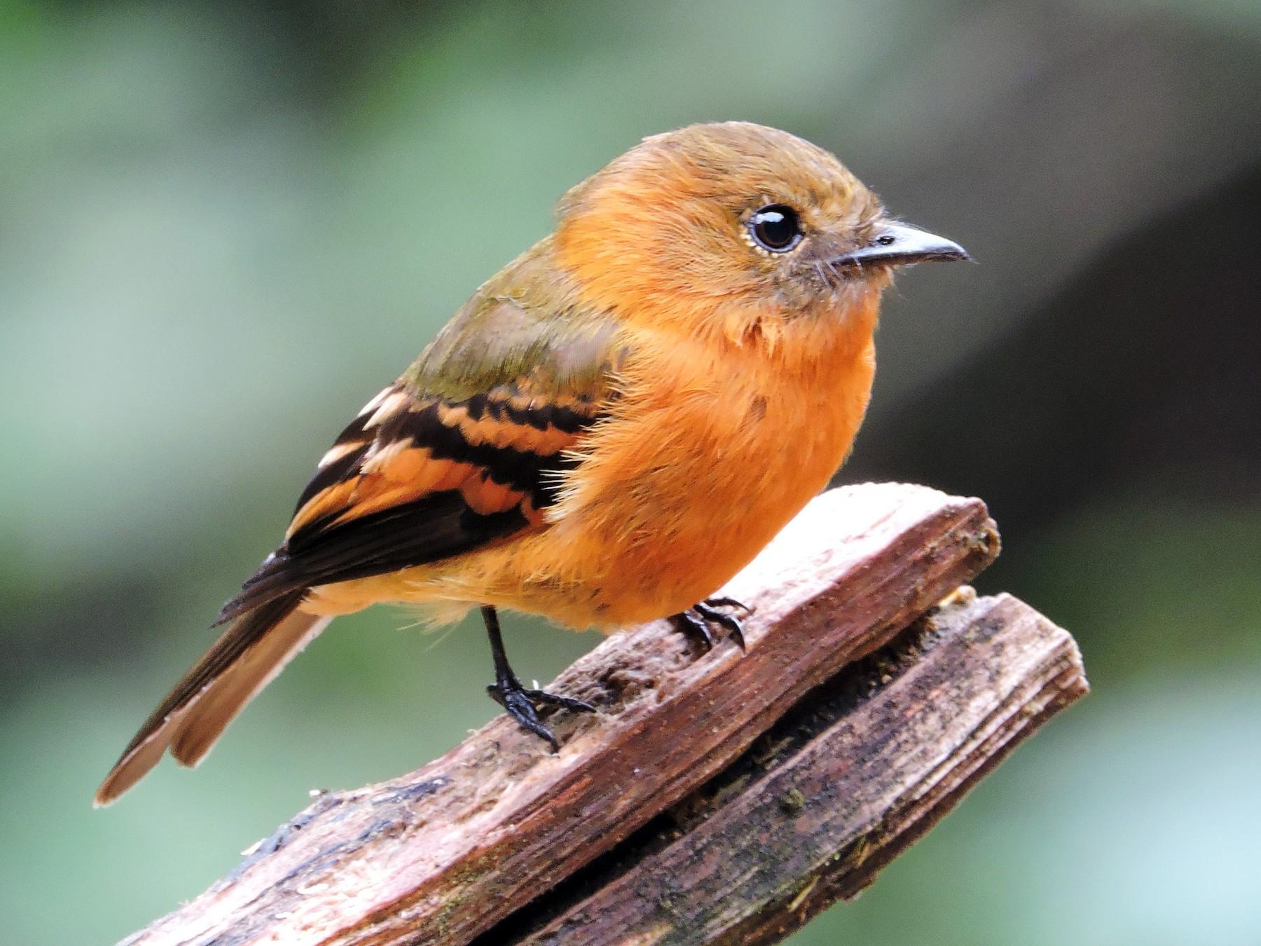 Cinnamon Flycatcher - Edwin Munera