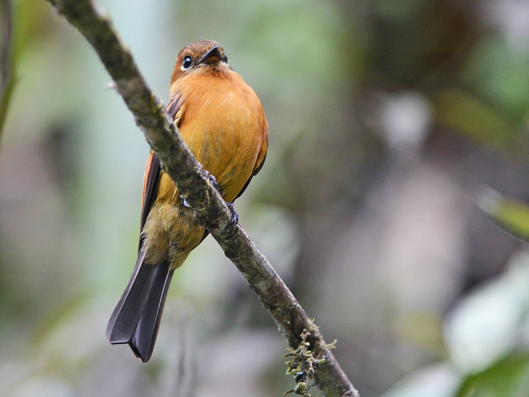 Cinnamon Flycatcher - Alan Van Norman