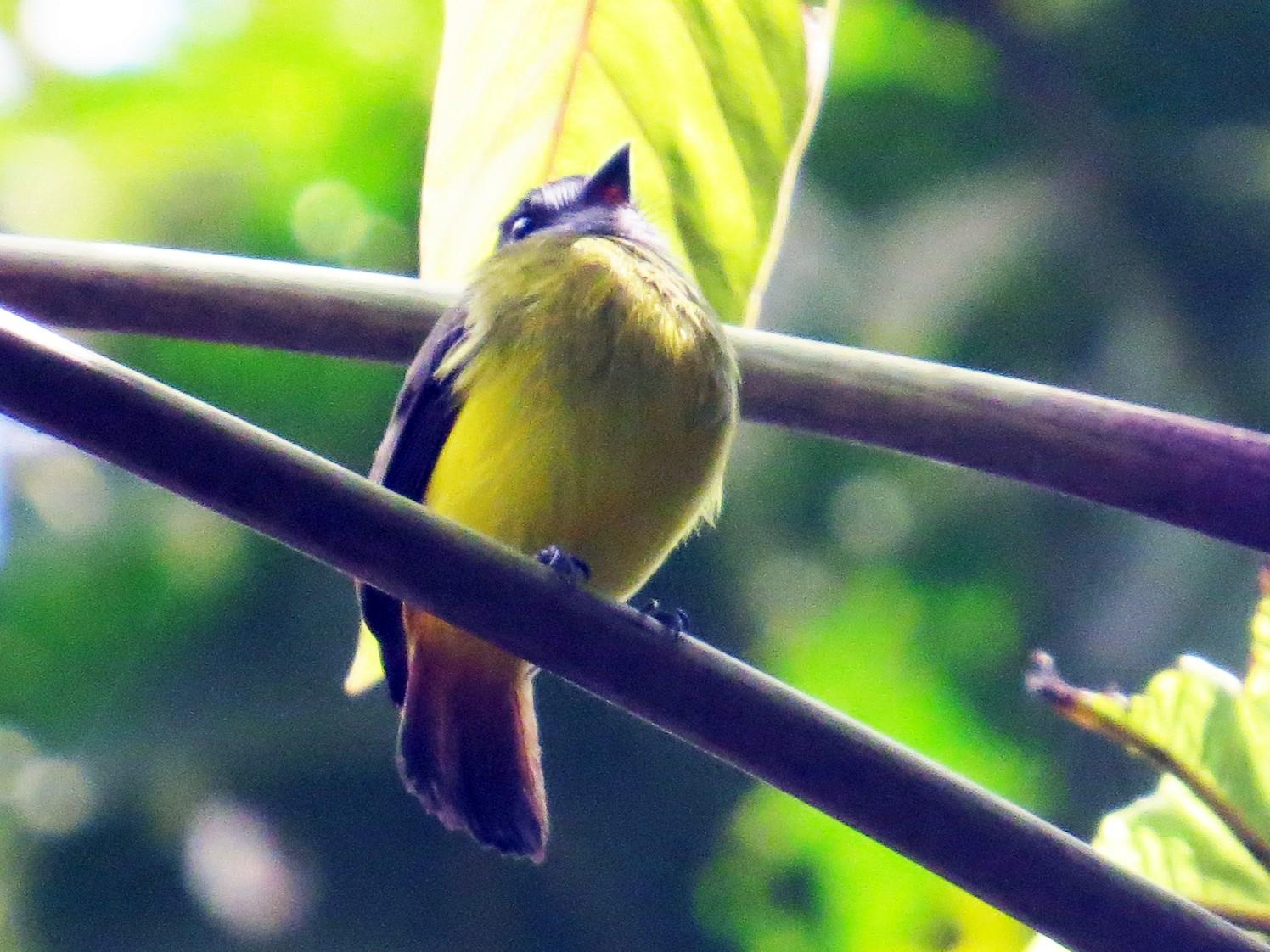 Ornate Flycatcher - Mark Kosiewski