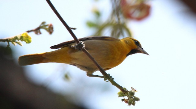 Black-backed Oriole