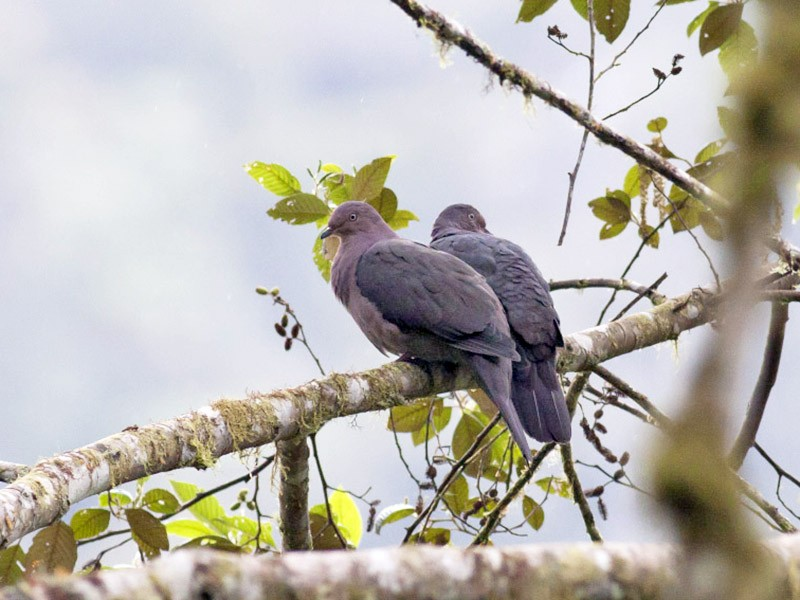 Plumbeous Pigeon - Michael Todd