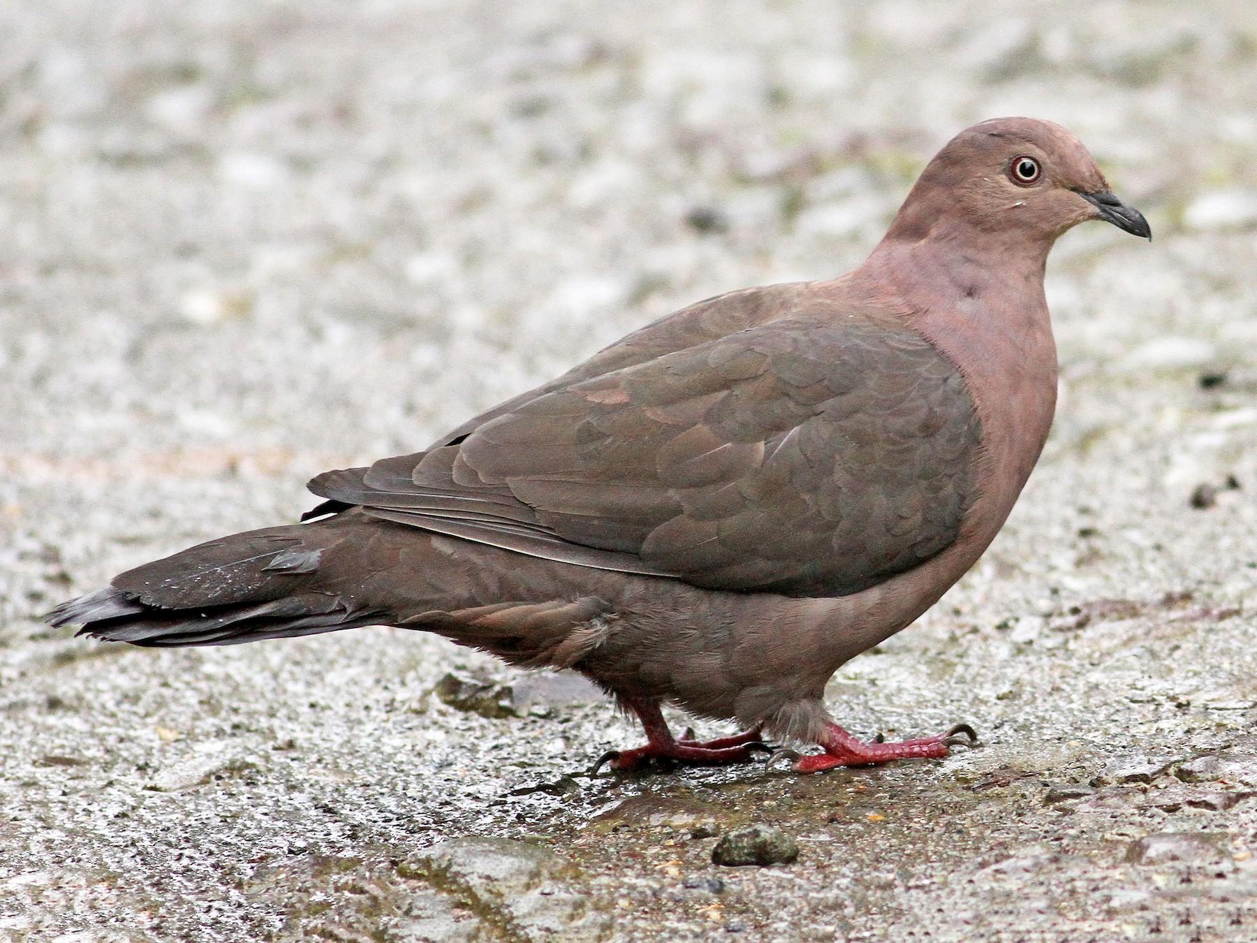Plumbeous Pigeon - Luke Seitz