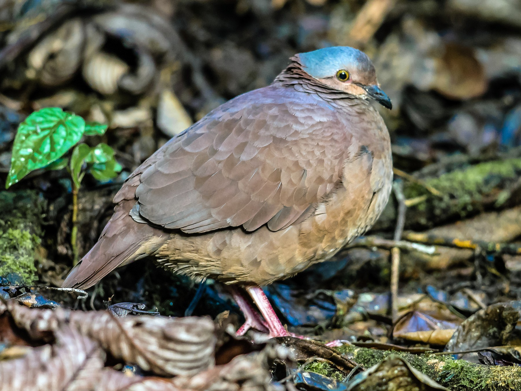 White-throated Quail-Dove - Peter Hart