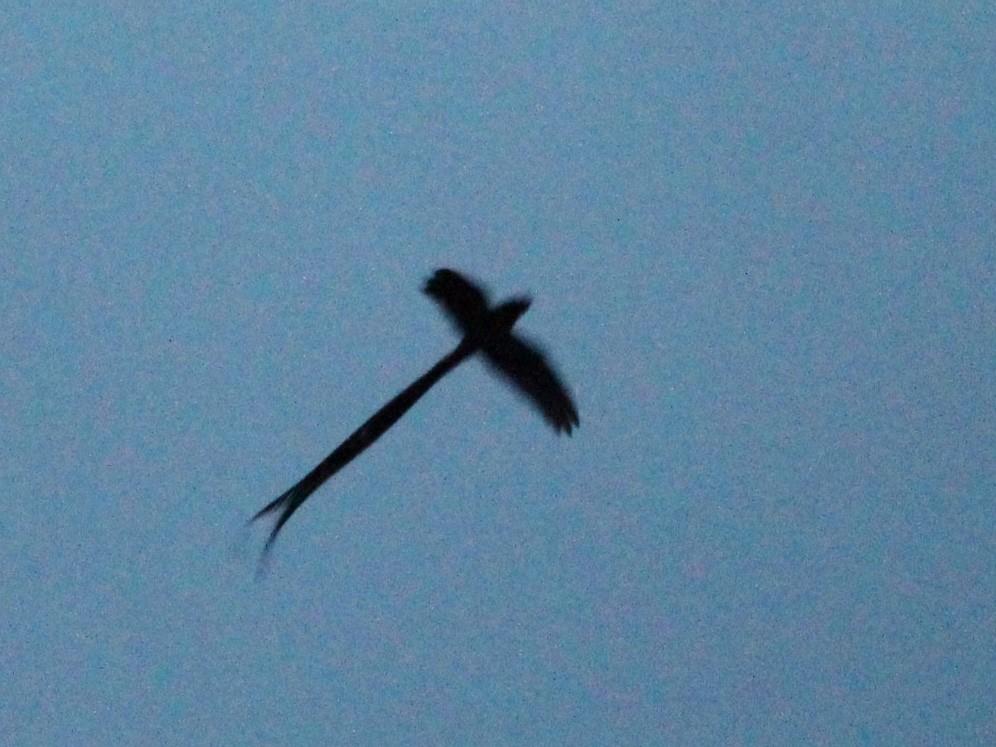 Lyre-tailed Nightjar - David Stobbe