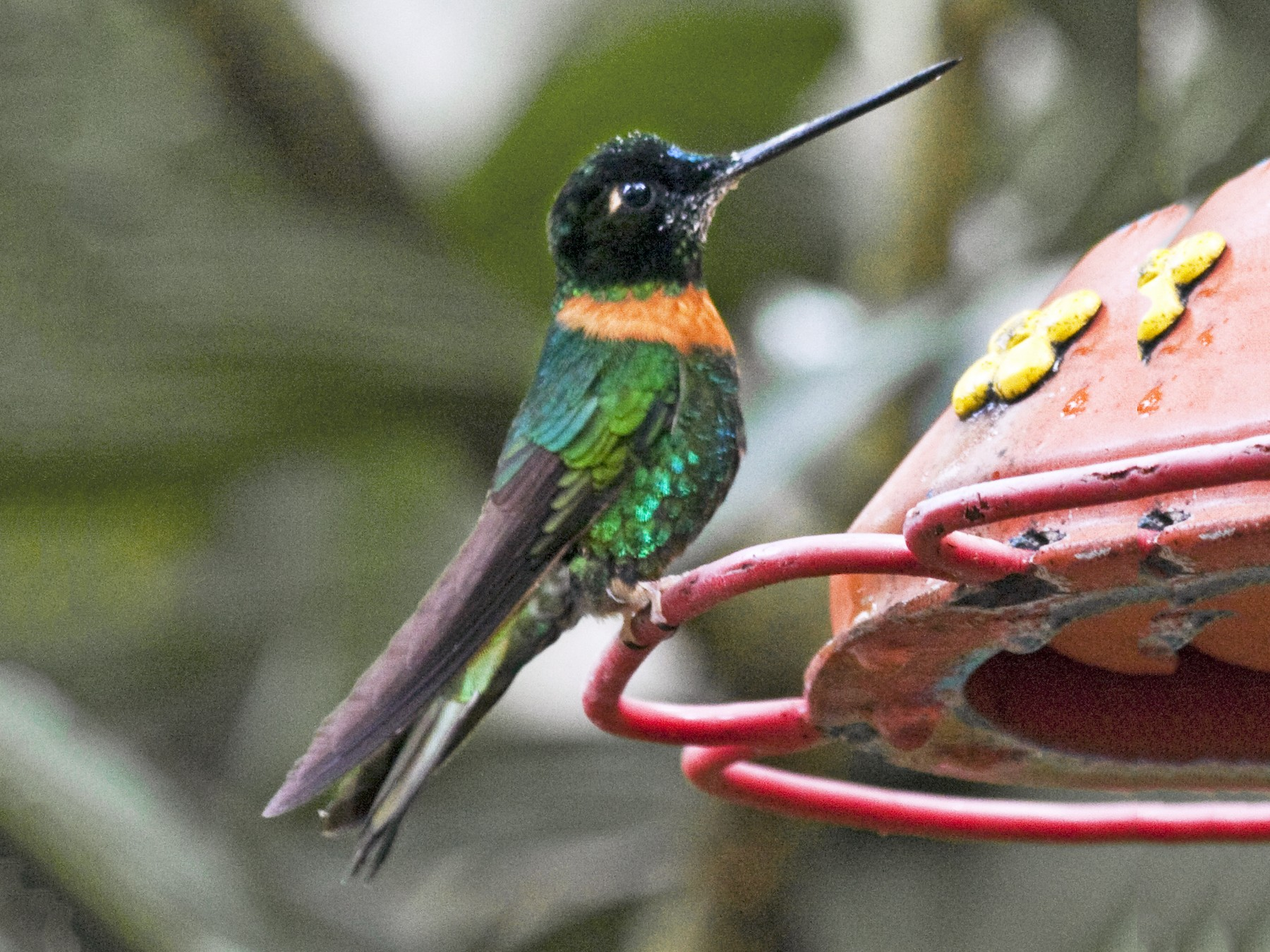 Collared Inca - Penny Bauer