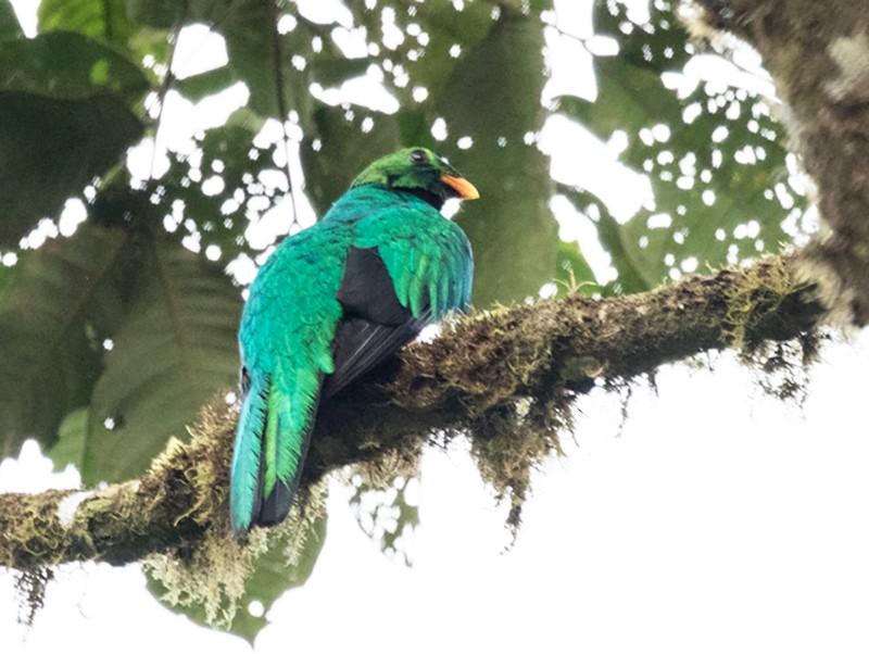 Golden-headed Quetzal - Silvia Faustino Linhares