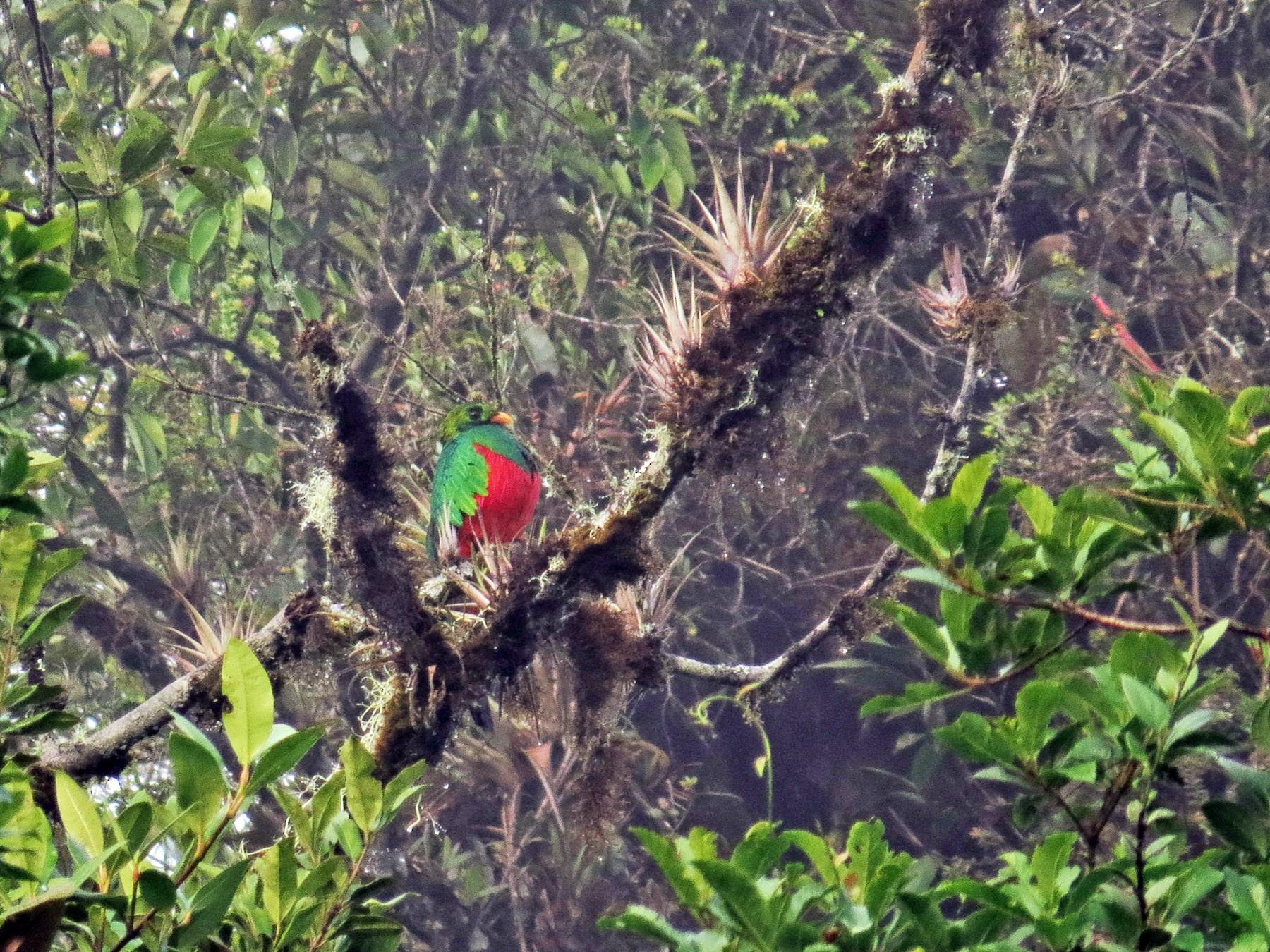 Golden-headed Quetzal - Jorge Muñoz García   CAQUETA BIRDING
