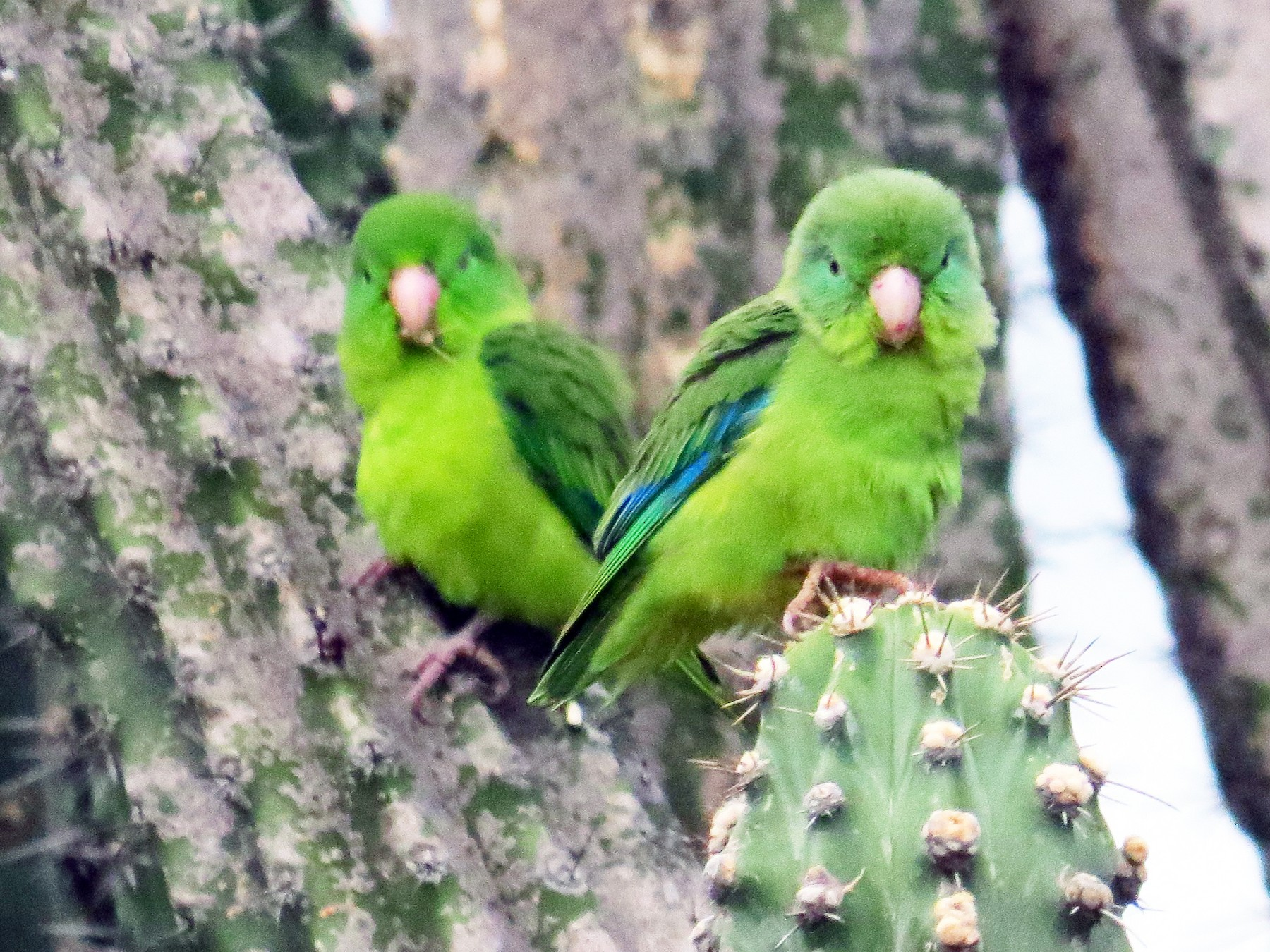 Spectacled Parrotlet - Jorge Muñoz García   CAQUETA BIRDING