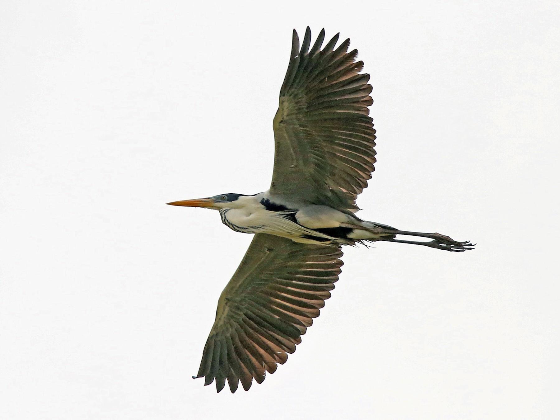 Cocoi Heron - Roger Ahlman