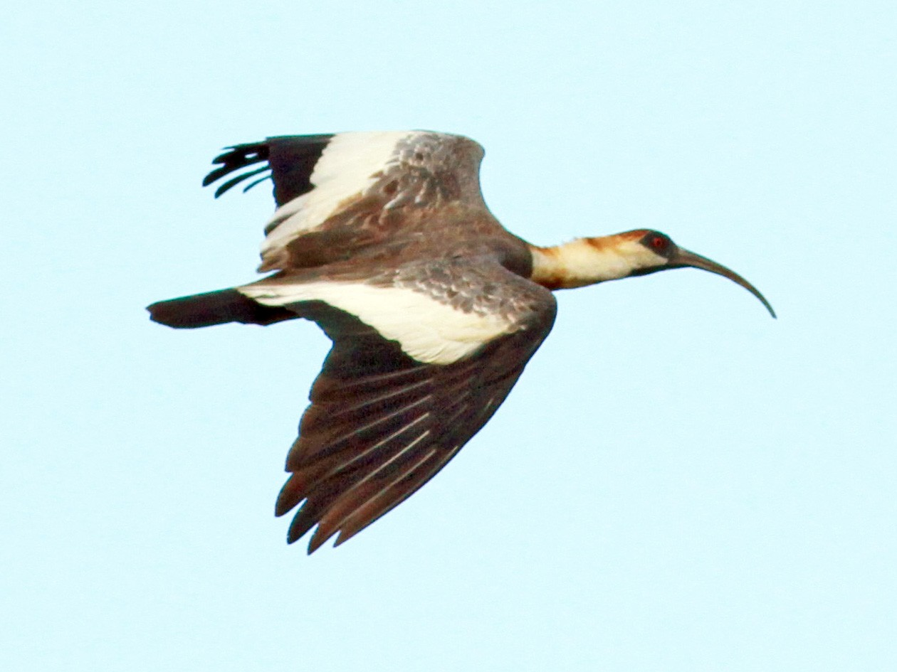 Buff-necked Ibis - Jay McGowan