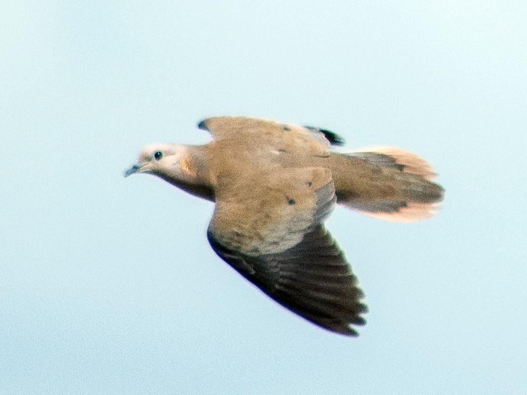 Eared Dove - Vishal Al Rangersammy