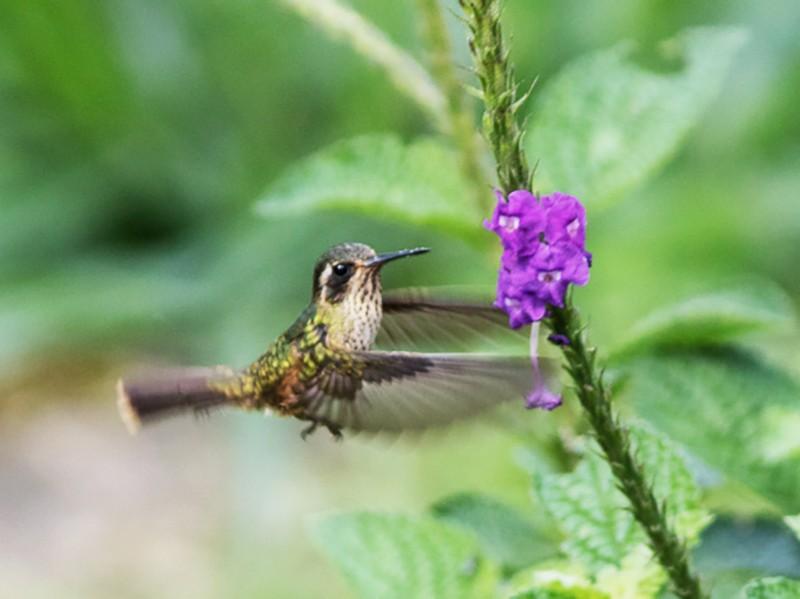 Speckled Hummingbird - Silvia Faustino Linhares