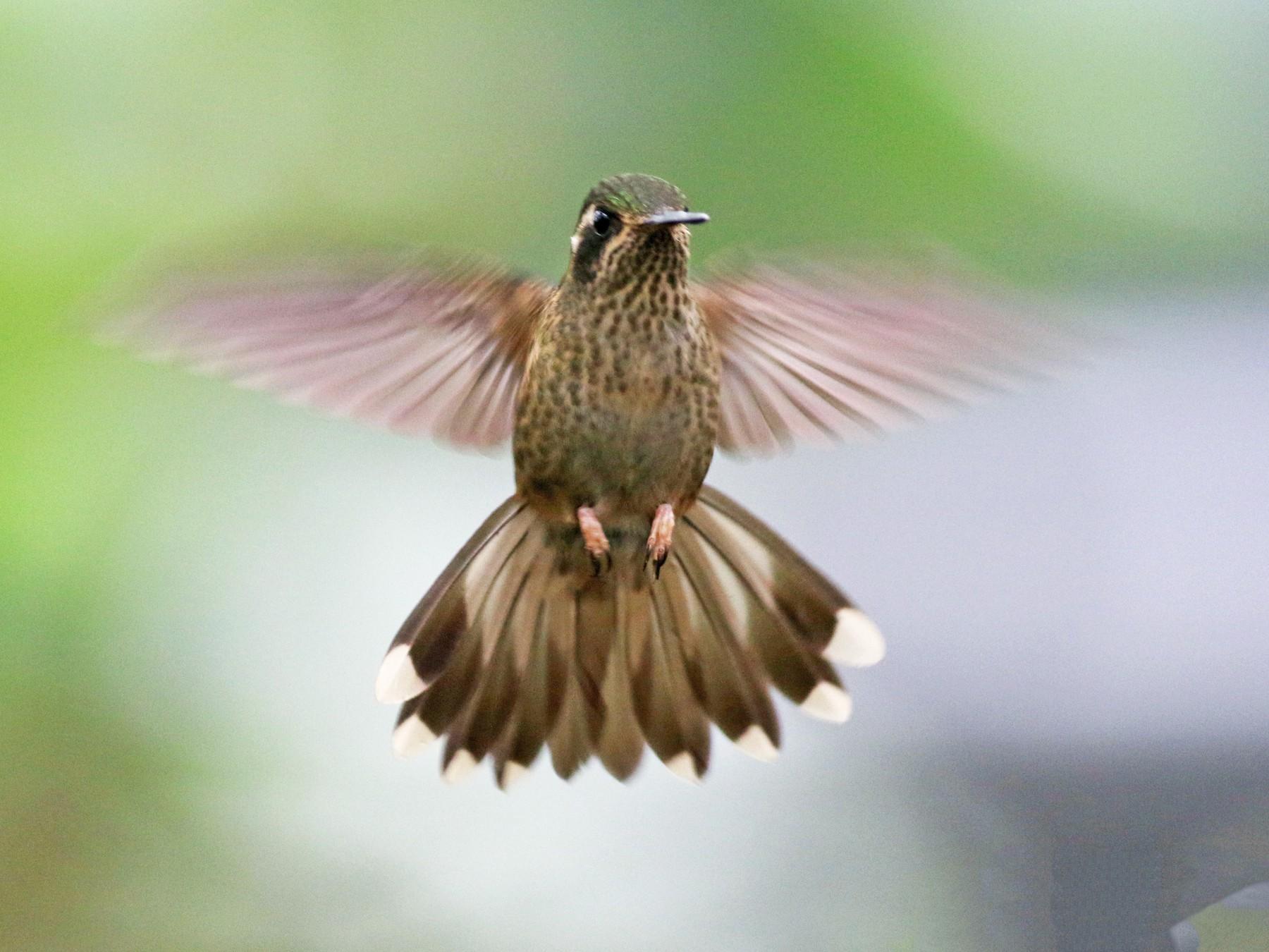 Speckled Hummingbird - Jay McGowan