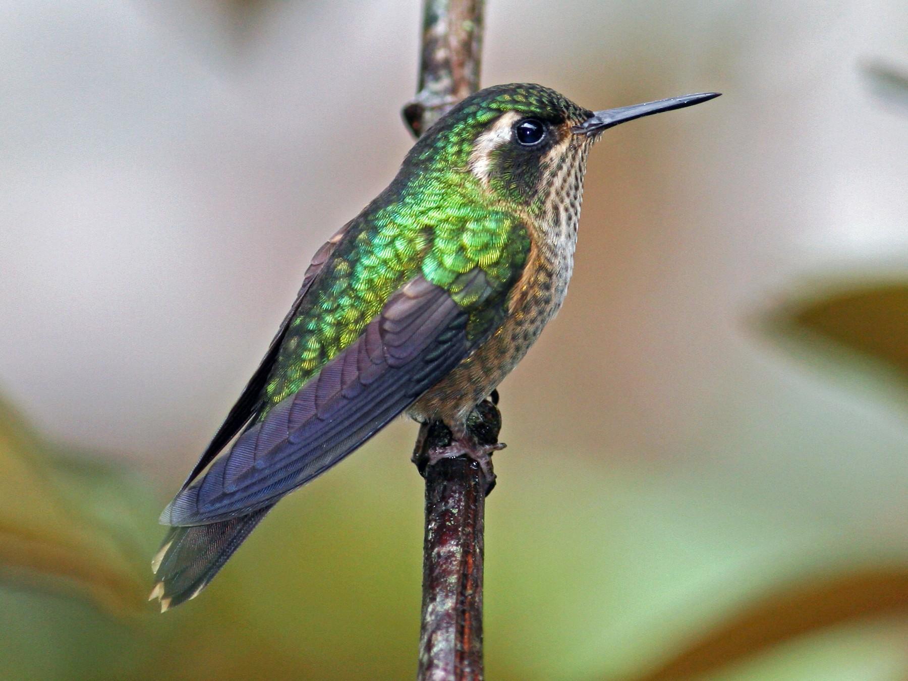 Speckled Hummingbird - David Disher