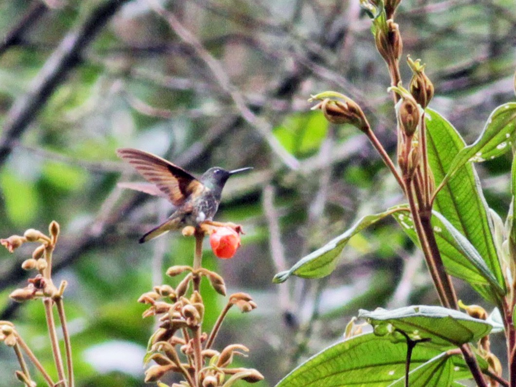 Buff-tailed Coronet - Jay McGowan