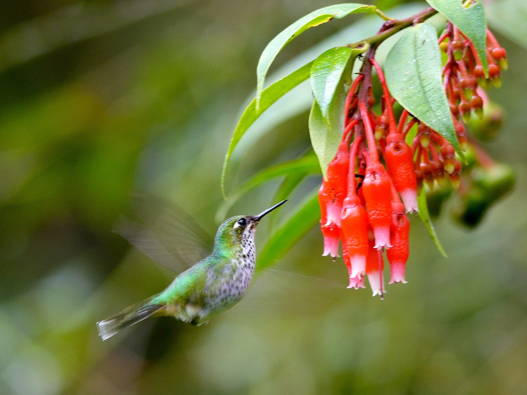 Booted Racket-tail - Neil Diaz