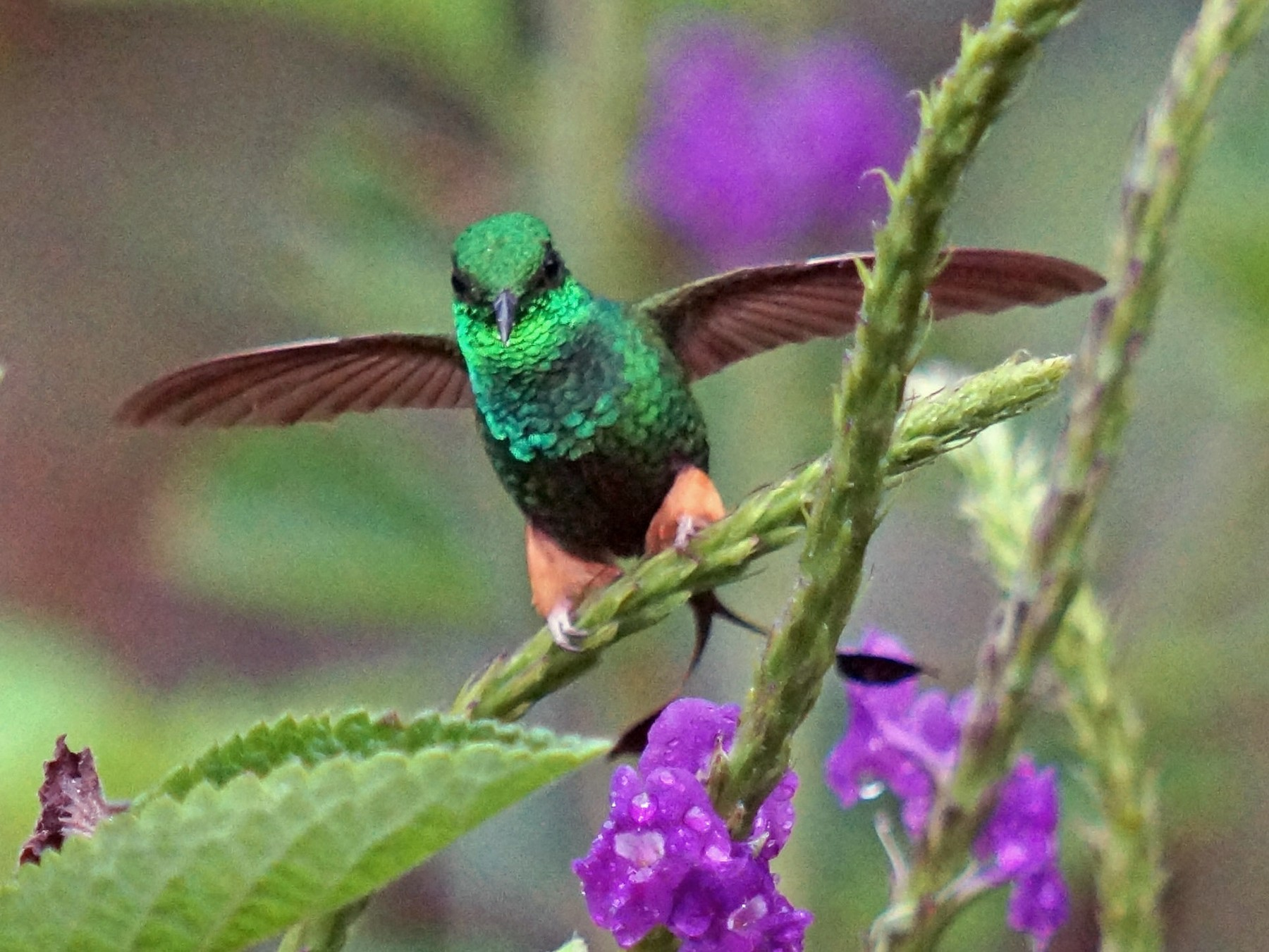 Booted Racket-tail - Robin Oxley