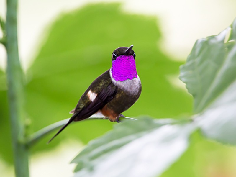 Purple-throated Woodstar - Otto Samwald