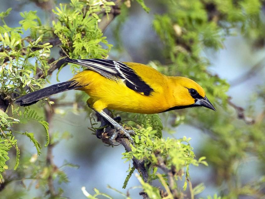 Yellow Oriole - Dorian Anderson