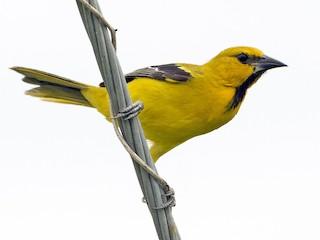 - Yellow Oriole