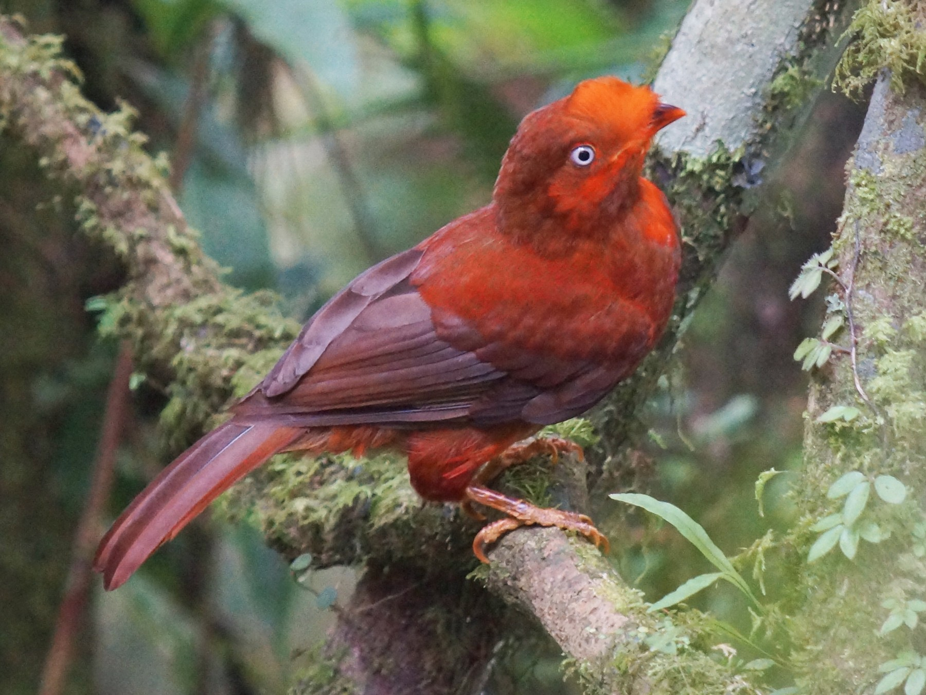 Andean Cock-of-the-rock - Robin Oxley