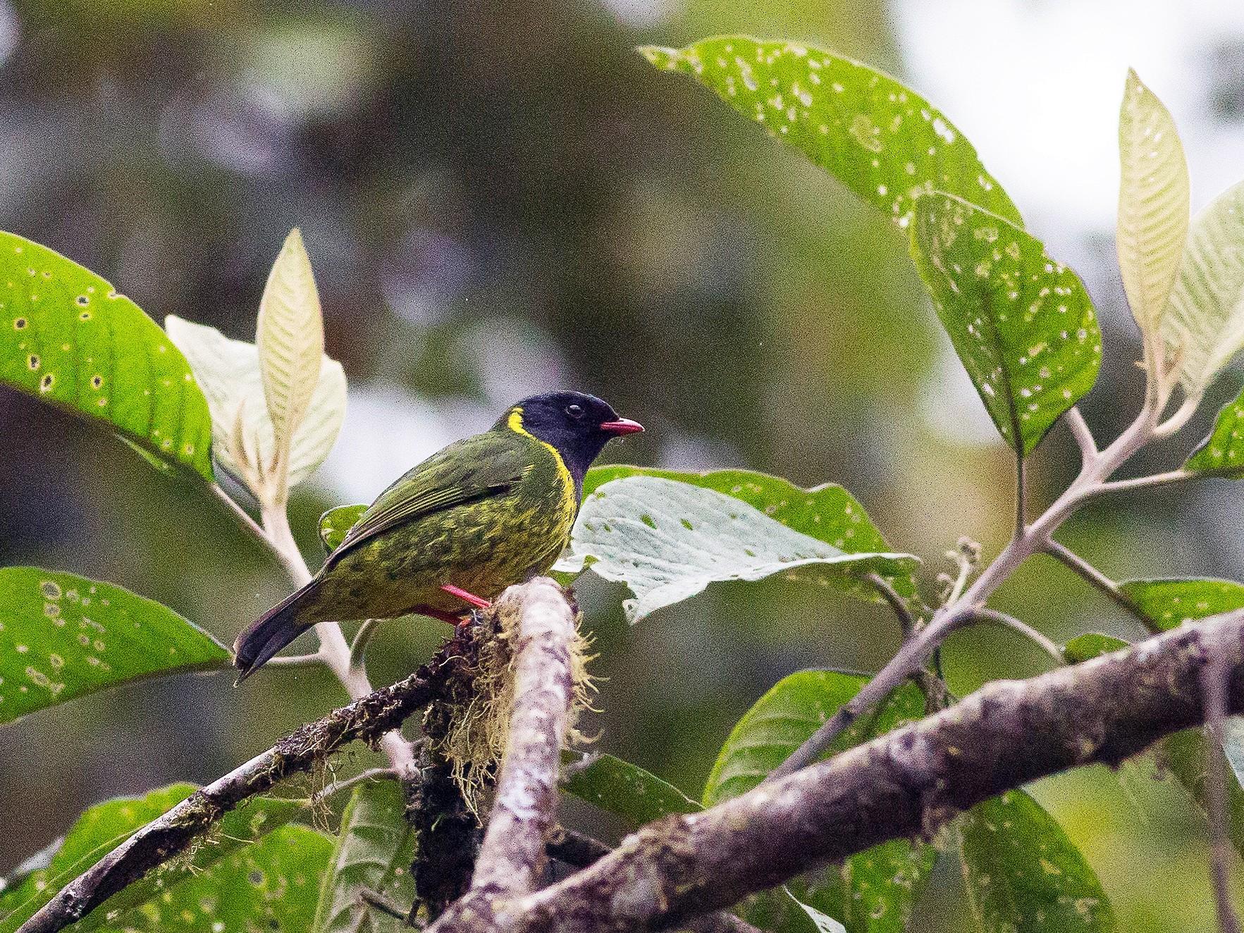 Green-and-black Fruiteater - Darren Clark