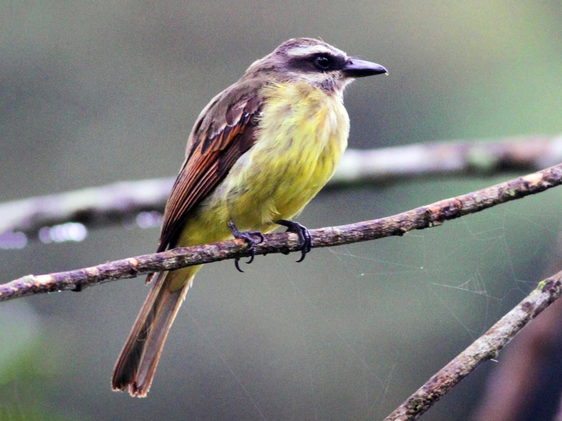 Golden-crowned Flycatcher - Ian Davies