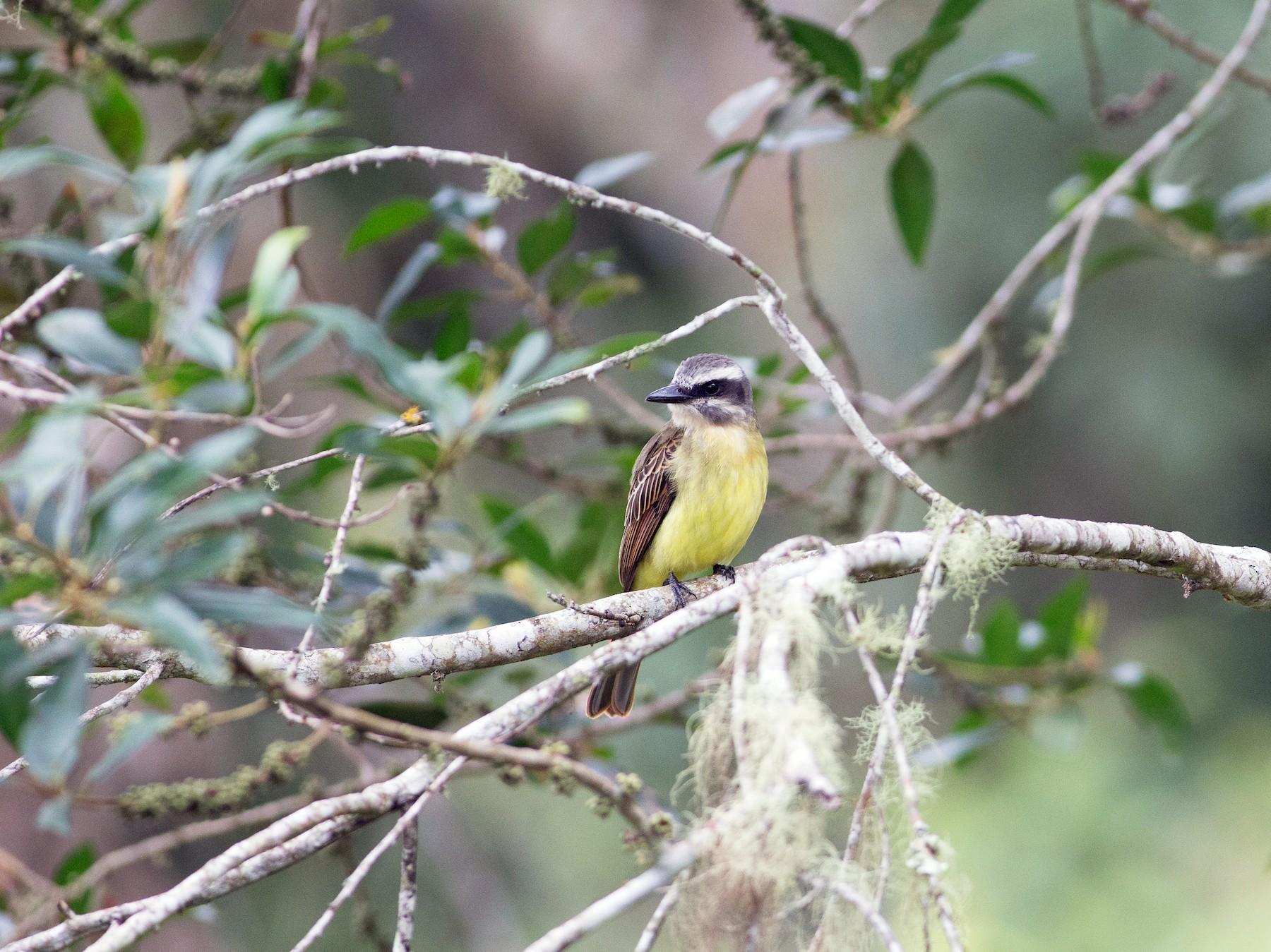 Golden-crowned Flycatcher - Chris Wood